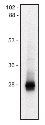 Anti-LIME Monoclonal Antibody (Clone:mLIME-05)