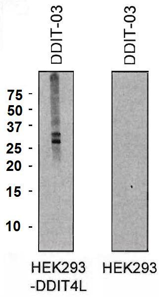 Anti-DDIT4L Monoclonal Antibody (Clone:DDIT-03)