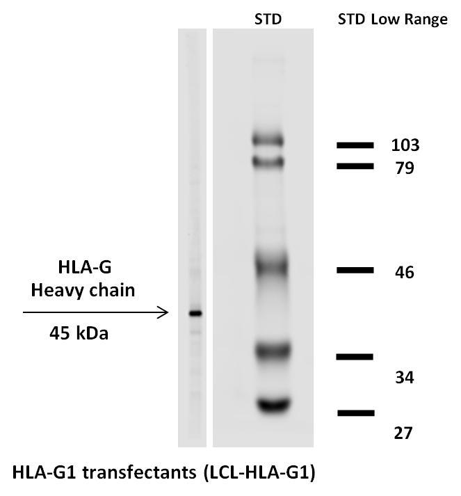Biotin Conjugated Anti-HLA-G Monoclonal Antibody (Clone:MEM-G/1)
