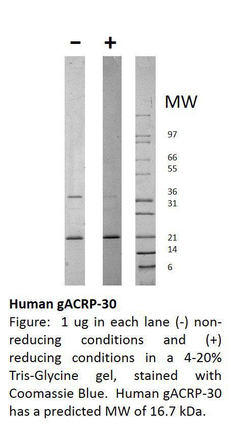 Human globular ACRP-30