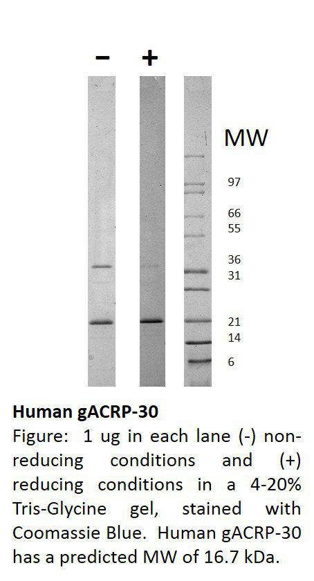 Human globular ACRP-30 (AF)