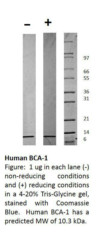 Human Beta-cell Attracting Chemokine 1 (CXCL13)
