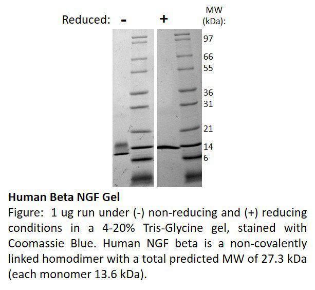 Human Beta-Nerve Growth Factor (AF)