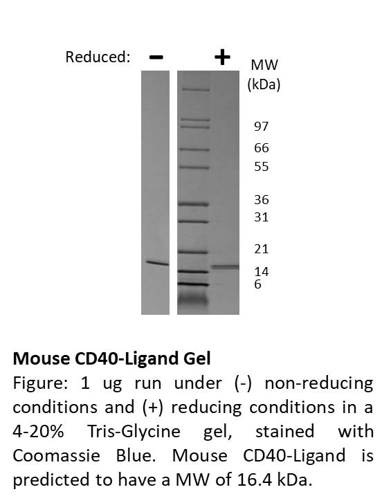 Mouse CD40-Ligand