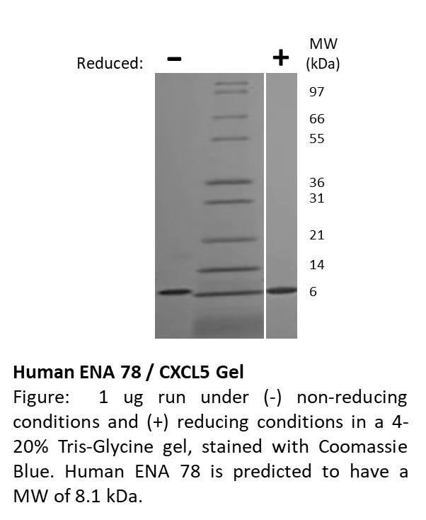 Human ENA 78 (CXCL5)