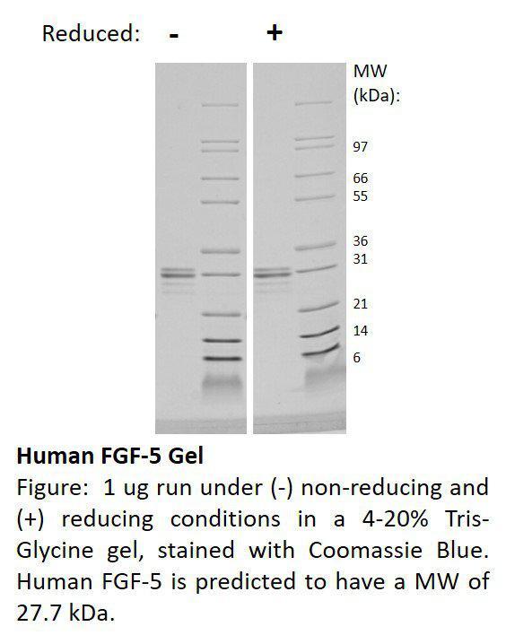 Human Fibroblast Growth Factor-5 (AF)