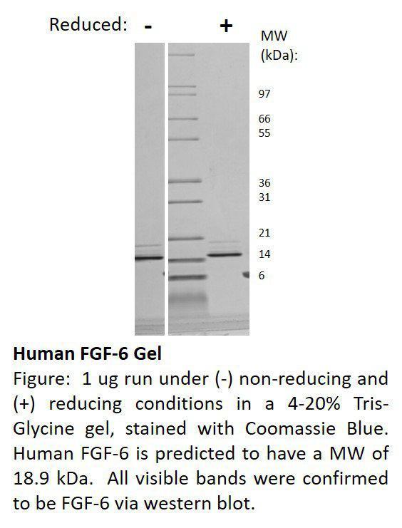 Human Fibroblast Growth Factor-6 (AF)