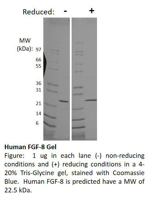 Mouse Fibroblast Growth Factor-8