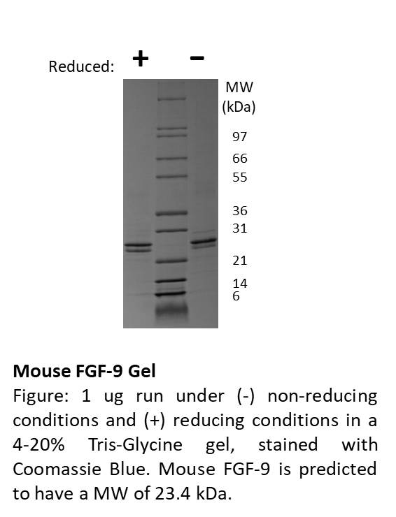 Mouse Fibroblast Growth Factor-9