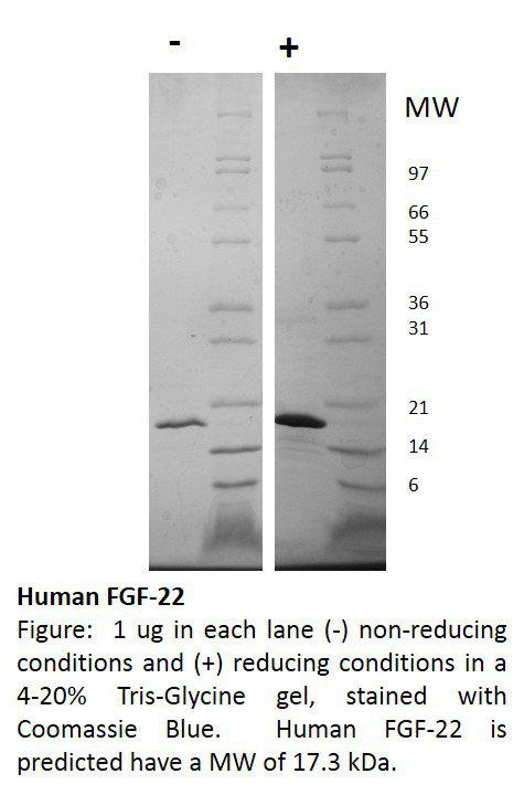 Human Fibroblast Growth Factor-22