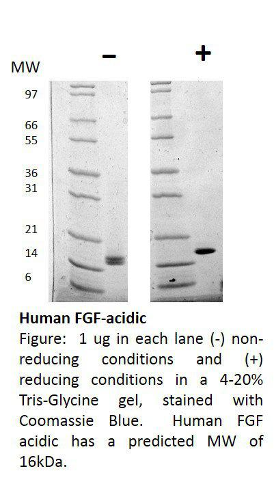 Human Fibroblast Growth Factor-acidic (AF)
