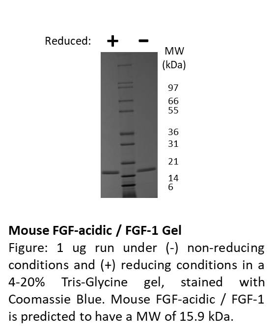 Mouse Fibroblast Growth Factor-acidic