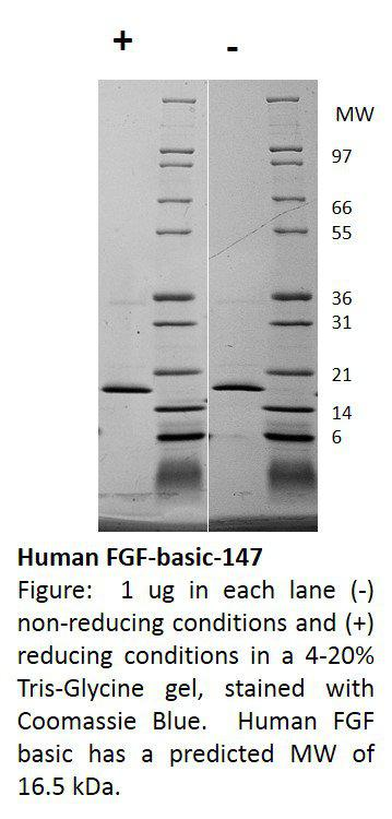 Human Fibroblast Growth Factor-basic 147