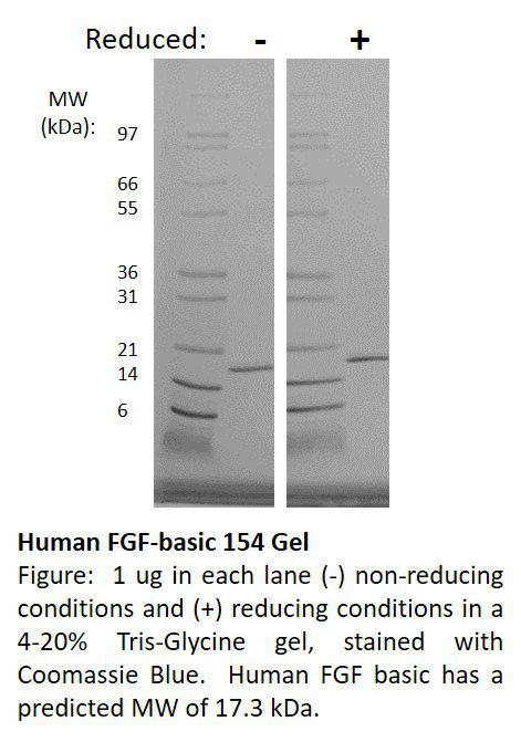 Human Fibroblast Growth Factor-basic 154 (AF)