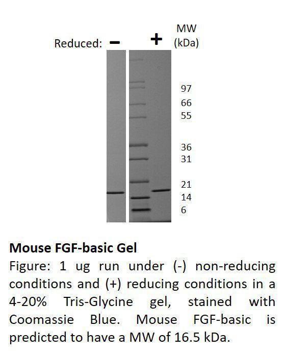 Mouse Fibroblast Growth Factor-basic