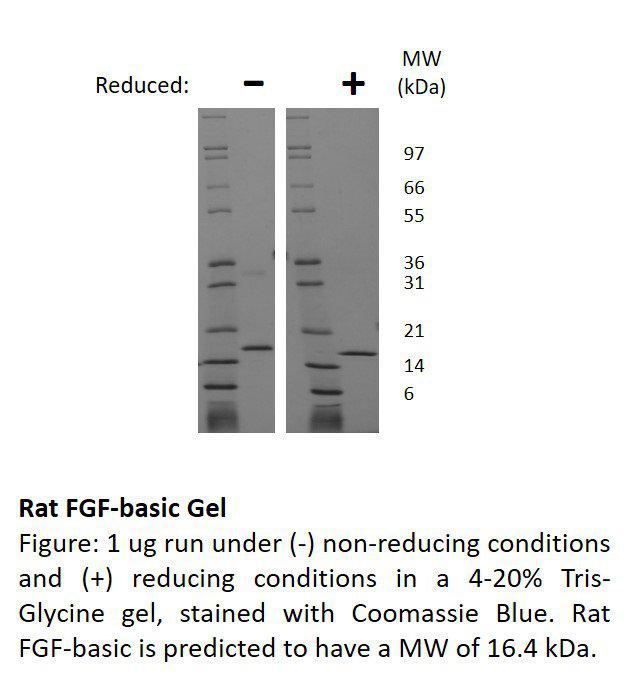 Rat Fibroblast Growth Factor-basic