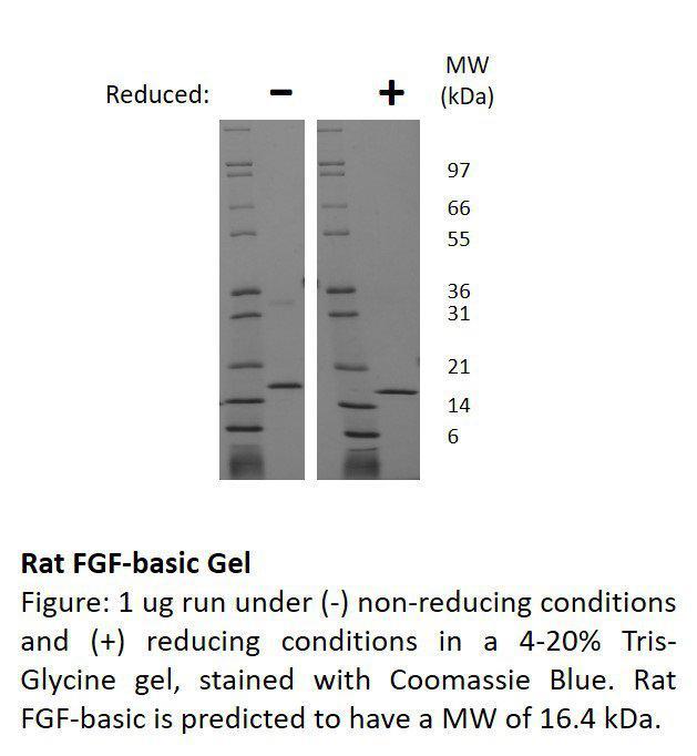 Rat Fibroblast Growth Factor-basic (AF)