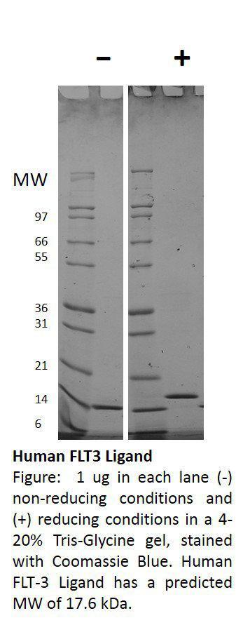 Human Flt-3 Ligand (AF)