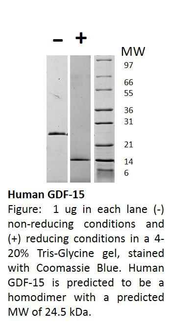 Human Growth and Differentiation Factor-15