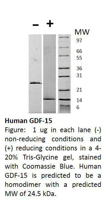 Human Growth and Differentiation Factor-15 (AF)