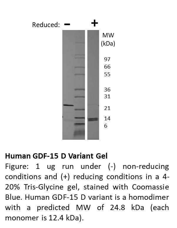 Human Growth and Differentiation Factor-15 (mutant)