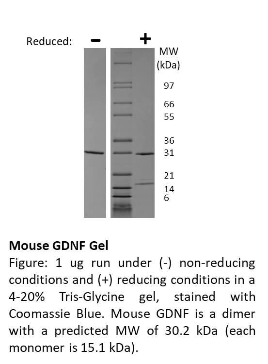 Mouse Glial Derived Neurotrophic Factor (AF)