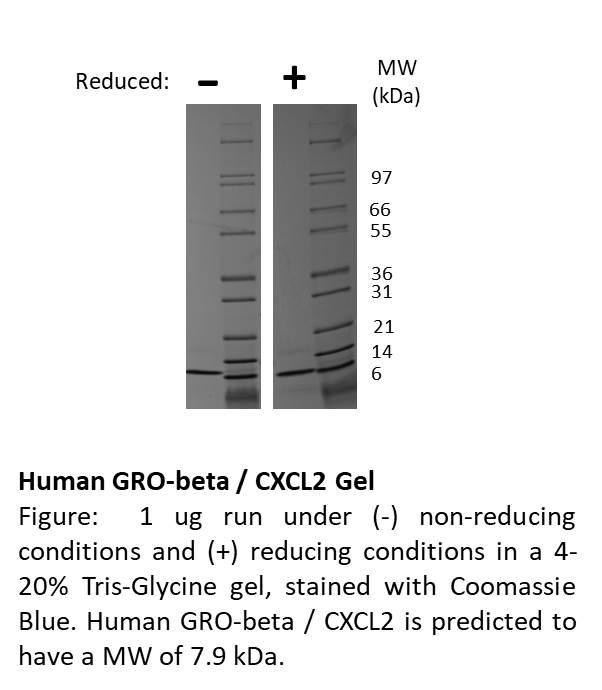 Human GRO-beta (CXCL2)