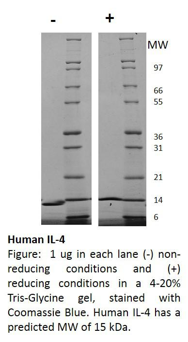 Human Interleukin-4