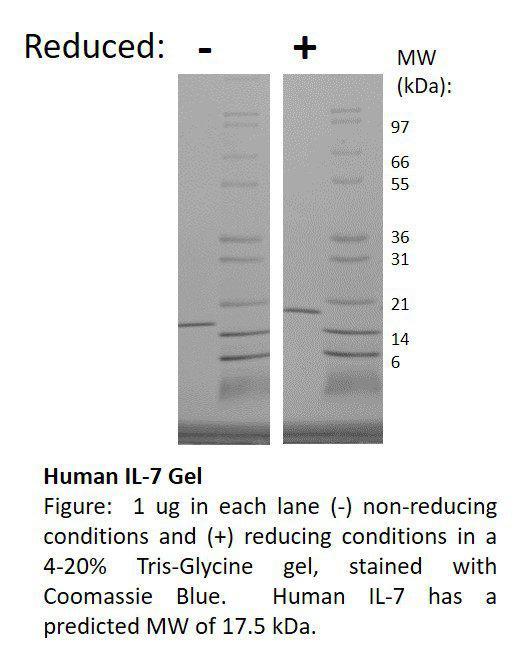 Human Interleukin-7