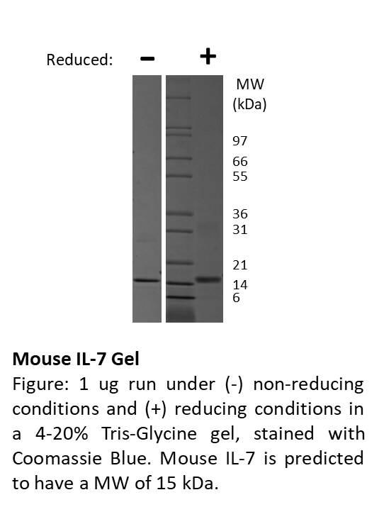 Mouse Interleukin-7
