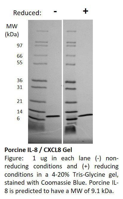 Porcine Interleukin-8 (CXCL8)