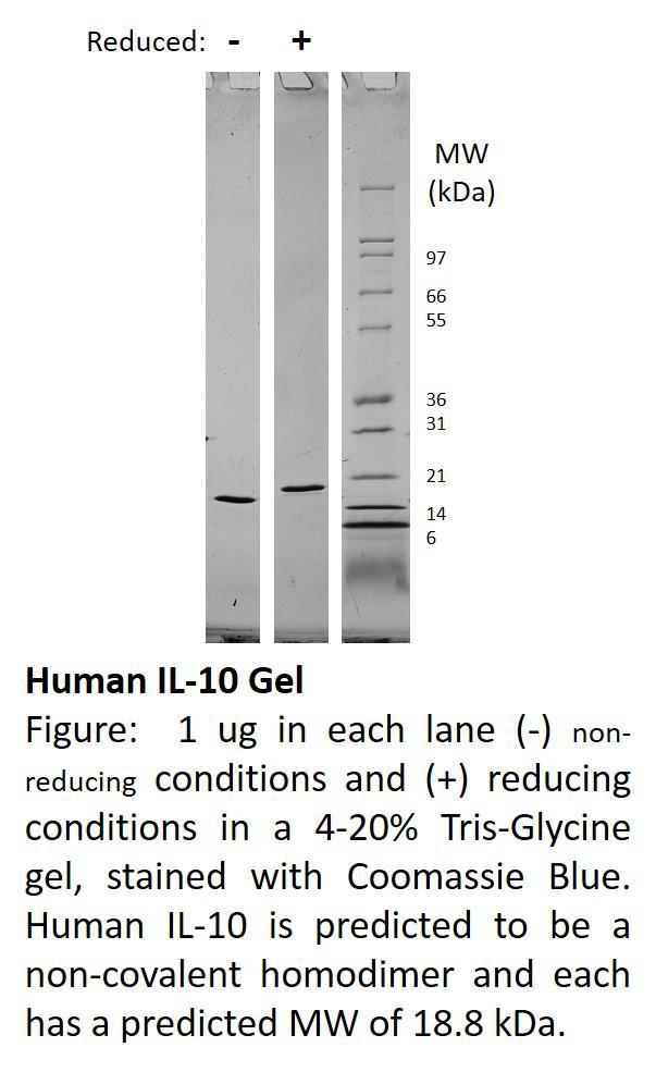 Human Interleukin-10