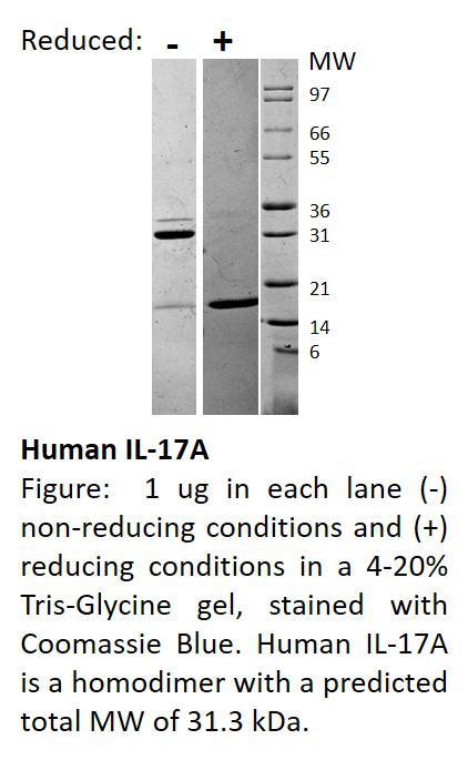 Human Interleukin-17A