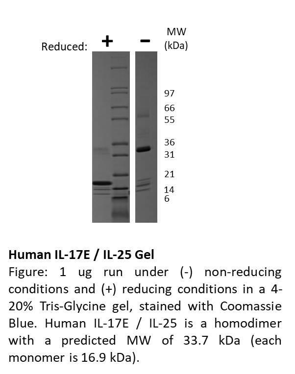 Human Interleukin-17E