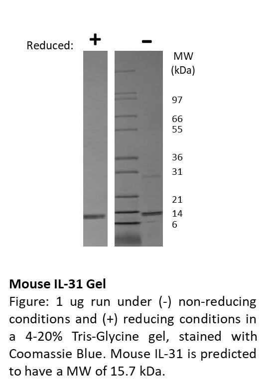 Mouse Interleukin IL-31