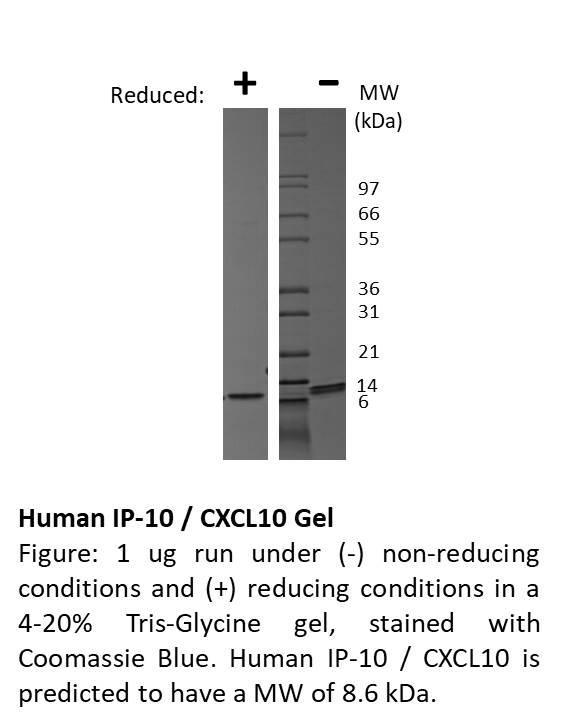 Human IP-10 (CXCL10)