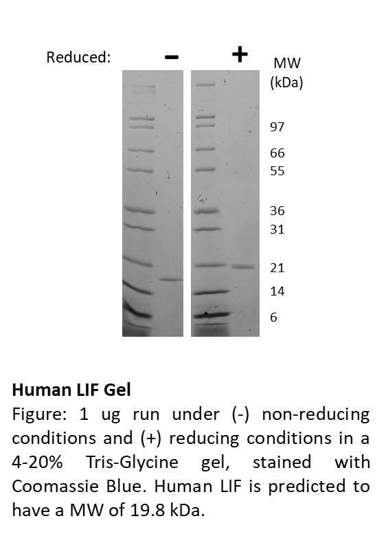 Human Leukemia Inhibitory Factor (AF)