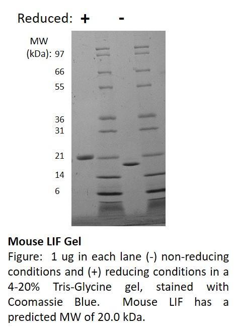 Mouse Leukemia Inhibitory Factor (AF)
