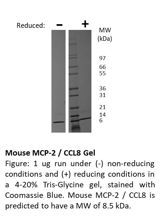 Mouse Monocyte Chemotactic Protein-2 (CCL8)