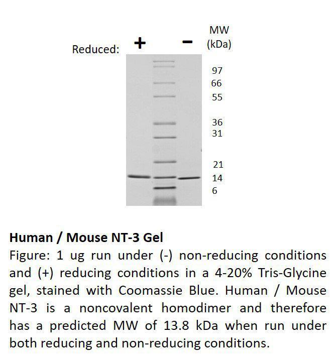 Human Neurotrophin-3