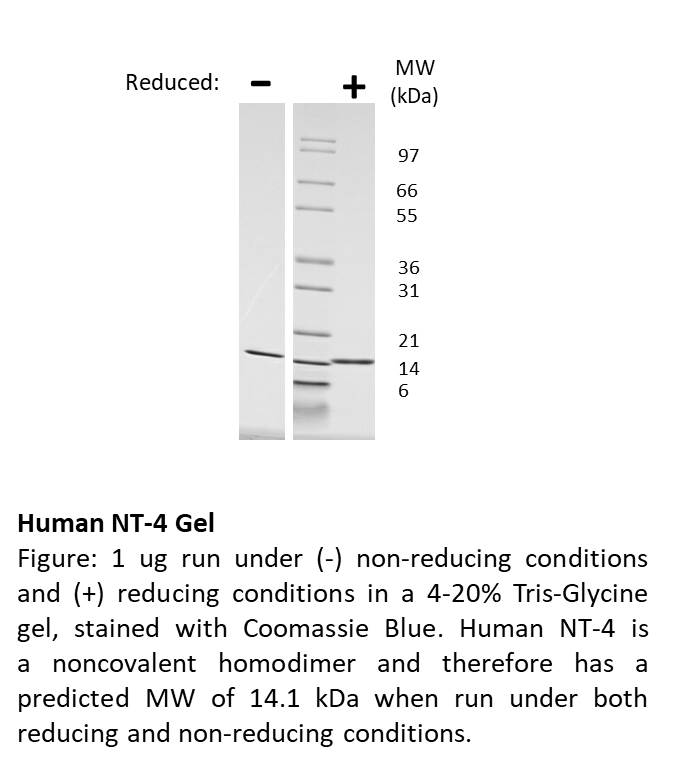Human Neurotrophin-4
