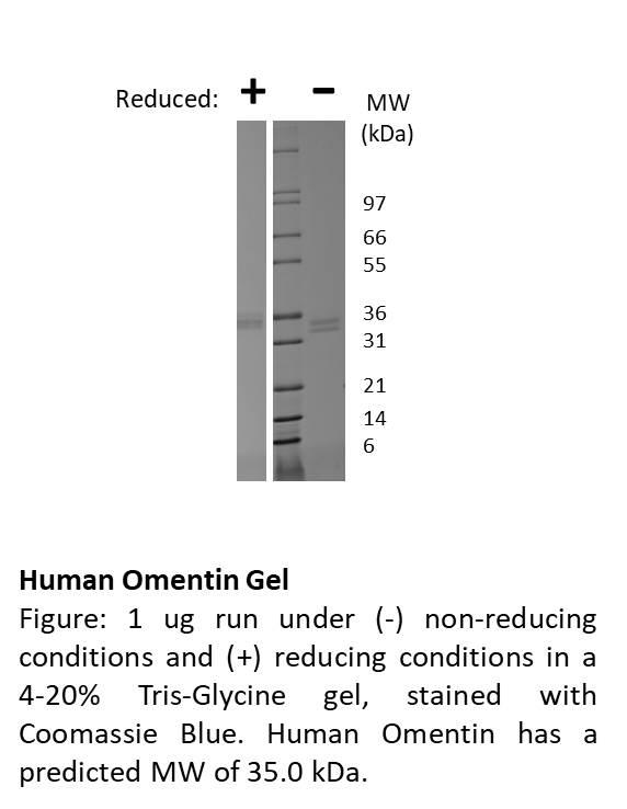 Human Omentin (AF)