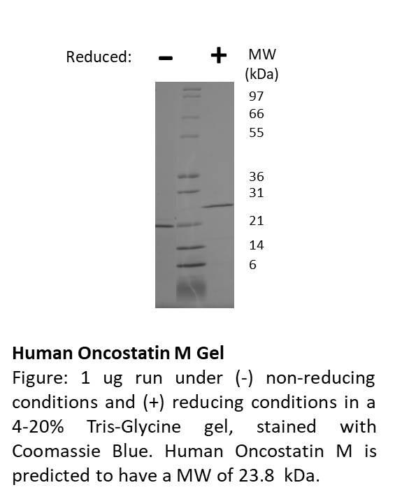 Human Oncostatin M (AF)