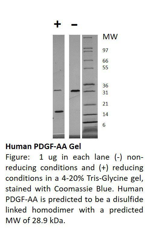 Human Platelet Derived Growth Factor-AA