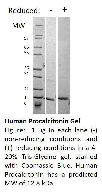 Human Procalcitonin