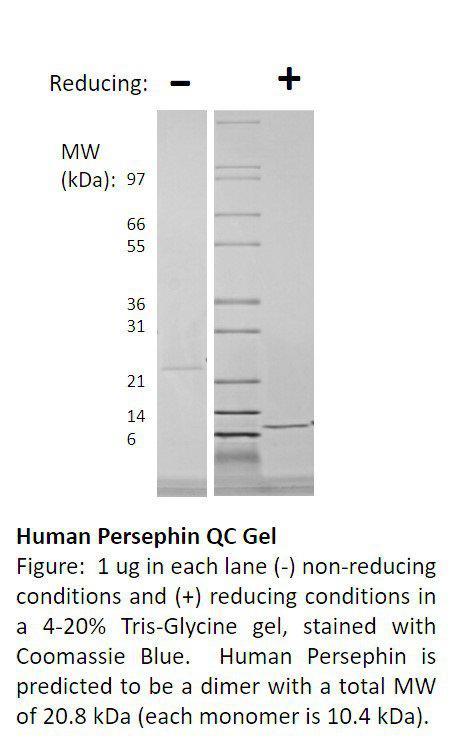 Human Persephin (AF)