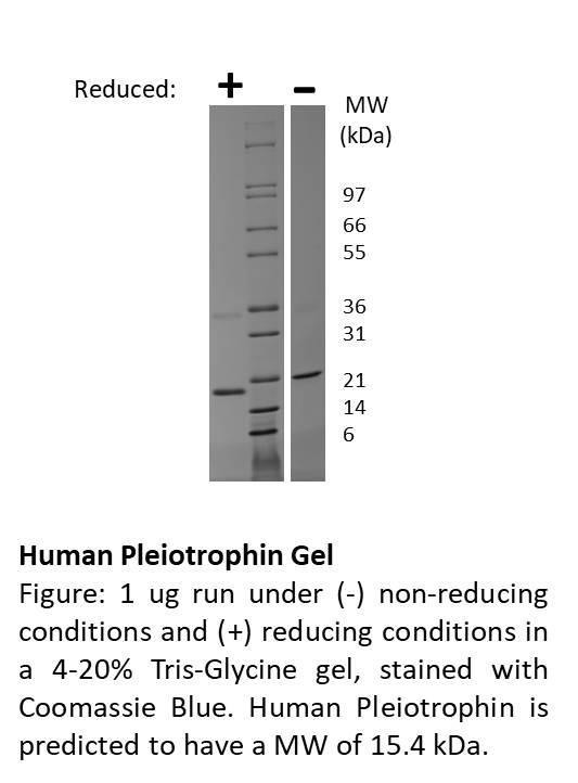 Human Pleiotrophin