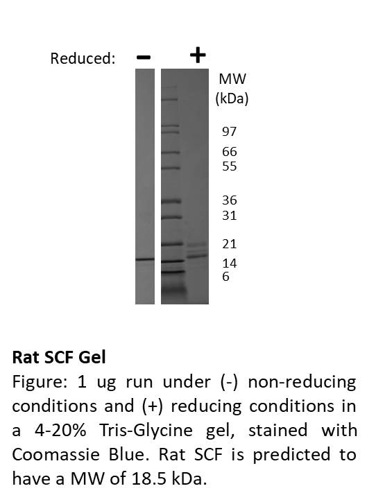 Rat Stem Cell Factor