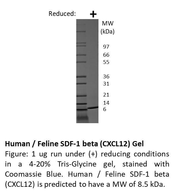 Feline Stromal Cell-Derived Factor-1 beta (CXCL12)