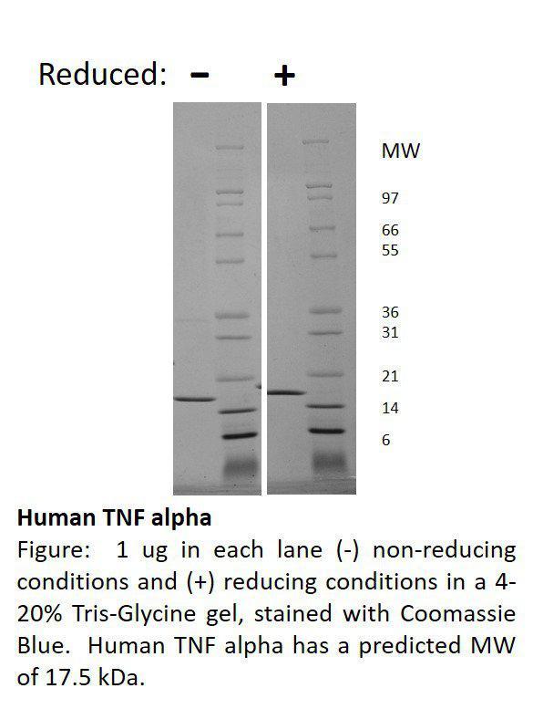 Human Tumor Necrosis Factor-alpha (AF)